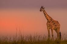 Rothschild's Giraffe ( Giraffa...