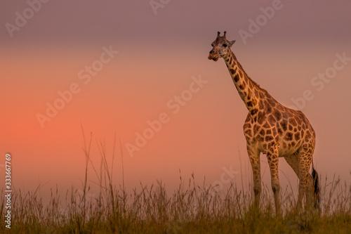 Naklejki żyrafa  rothschild-s-giraffe-giraffa-camelopardalis-rothschildi-in-a-beautiful-light-at-sunset-murchison-falls-national-park-uganda