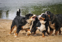 Bernese Mountain Dogs Playing Outside In The Water And Sand. Action Photography Of Dogs.