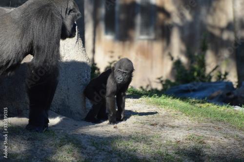 Photo Gorilla in the Zoo