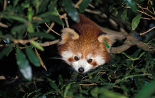 ADULT RED PANDA Ailurus Fulgens, HEAD EMERGING FROM GREEN FOLIAGE  .