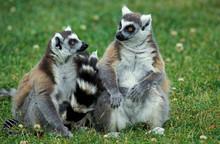 RING TAILED LEMUR Lemur Catta,...
