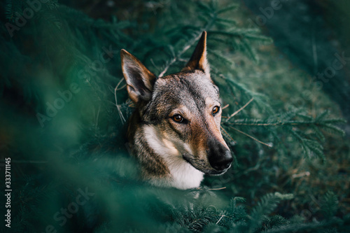 She-wolf among fir trees Canvas-taulu