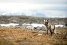 Arctic Fox Cub Near Their Den,...