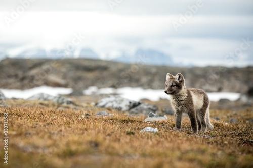Arctic Fox cub near their den, Vulpes lagopus, in the nature rocky habitat, Sval Tapéta, Fotótapéta