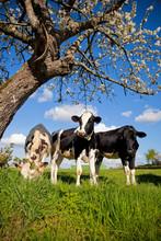 Trois Vaches Laitière Au Prin...