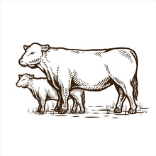 Angus Cattle Cow Hand Drawing