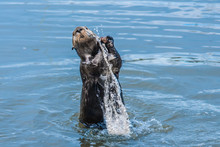 A Wild Young California Sea Otter (Enhydra Lutris) Jumps And Splashes In The Water While Playing With A Round Stone, In Shallow Waters Of Monterey Bay, California, Near Big Sur And Carmel By The Sea.