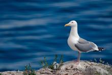 Seagull On The Stone Coastline