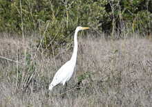 Gorgeous Great Egret Bird Standing In Tall Grass