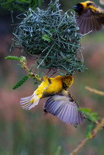 Southern Masked Weaver Ploceus...