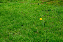 Single Daffodil Standing Alone...