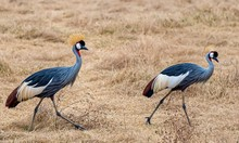 Grey-crowned Cranes Walking Through A Field Covered In The Grass Under The Sunlight