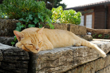 A Large Street Ginger Cat Slee...