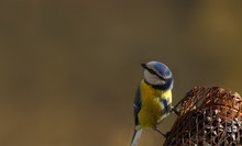 A Blue Tit Sits On A Feeder With Its Head Turned Away From The Camera With Huge Amplitude...