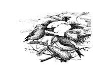 CROSSBILL (Loxia Curvirostra) - Vintage Engraved Illustration 1889