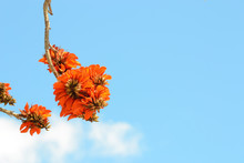 Erythrina Caffra. Erythrina's Flower Cluster Caffra