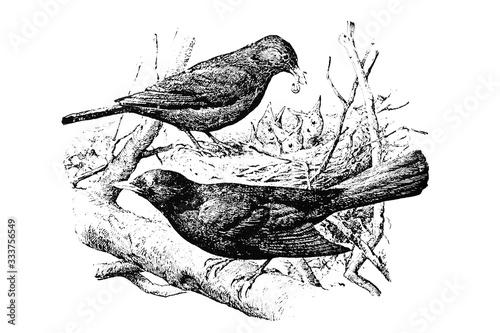 BLACKBIRD (Turdus merula) - Vintage Engraved Illustration 1889 Canvas Print