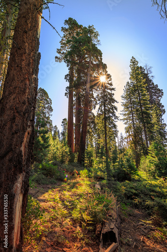 Forest of Sequoias, Yosemite National Park, California