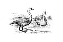 MUTE SWAN (Cygnus Olor) - Vintage Engraved Illustration 1889