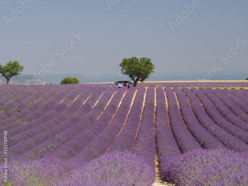 Fototapety, obrazy: lavender field in provence france