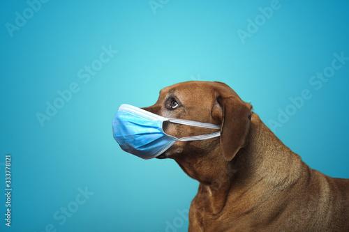 Fototapeta A dog with a mask  obraz