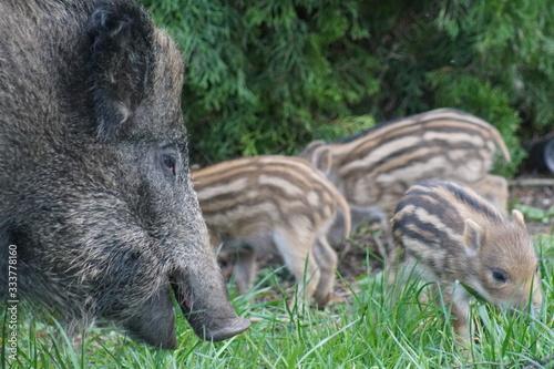 Fototapeta Dziki ,locha z młodymi ,ssaki ,młode dziki z mamą  obraz