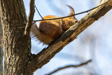 Red Squirrel On A Tree Branch.