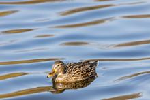 A Female Duck Swims In A Lake.
