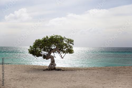 Photo Divi Divi Tree on Eagle Beach in Aruba