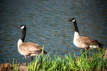 Two Canada Geese Waters Edge