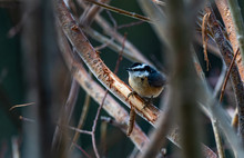 A Red-breasted Nuthatch Perche...