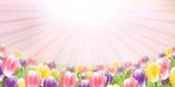 Fototapeta Tulipany - チューリップ 花 春 背景