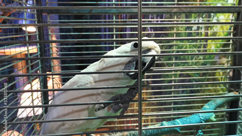 Fotografia White parrot is biting cage, close up. Active bird in a birdcage.