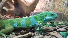 Amazing Striped Bicolor Lizard...
