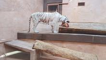 White Tiger Having Dinner In A...
