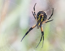 A Black And Yellow Garden Spider At Work On Its Web