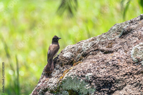 Fotografering bird common bulbul (Pycnonotus barbatus) is a member of the bulbul family of passerine birds