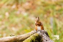 Red Squirrel (Sciurus Vulgaris...