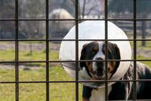 Ein Hofhund Mit Schutzkragen D...