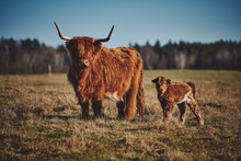 Highland Beef Cow And Calf On ...