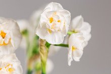 Closeup Of White Flowers Of Na...
