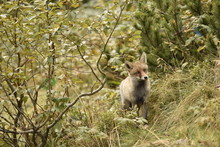 Wild Red Fox In The Forest