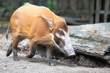 Bush Pig Or  Red River Hog (in...