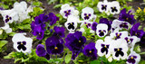 Beautiful white and purple pansy flowers