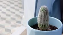 Rainbow Hedgehog Cactus (Echin...