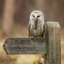 Male Barn Owl On A Country Sig...