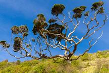 A Pohutukawa Tree With Extensi...