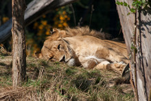 Sleeping Lioness In A Zoo. Bea...