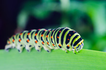 Caterpillar Of The Machaon Cra...